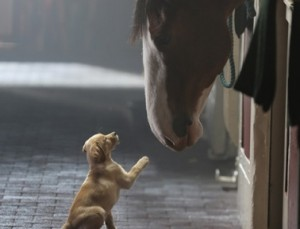 Photo courtesy of budweiser.com Puppy meets Clydesdale in Budweiser's commercial.